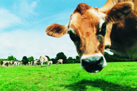 Could GM cows solve the problem of milk allergies?