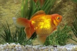 A maid of honour was forced to look after 99 dead goldfish